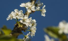 Blossom, Branch, Spring, Sky royalty free stock images