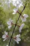 Blossom. Stock Images