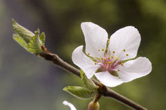 Blossom. Stock Photography