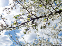 Blossom branches. Blossom tree branches in the spring Stock Photography
