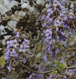 Blossom branchs jacaranda tree Stock Images