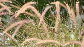 Blossom  brown grass or Pennisetum pedicellatum That sway in the wind. stock footage