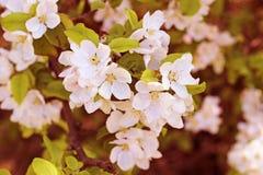 Blossom brunch of apple tree. White blossom brunch of apple tree Royalty Free Stock Photos