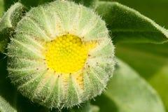Blossom bud Royalty Free Stock Photo
