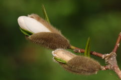 Blossom buds of magnolia Stock Images