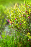 The blossom bush of blueberry Stock Photo
