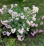 Blossom bush Stock Images