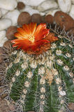 Blossom of a cactus Stock Photo