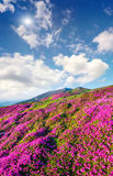 Blossom carpet of pink rhododendron flowers in the mountains Stock Image