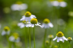 Blossom of chamomile royalty free stock images