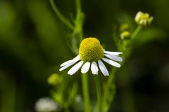 Blossom of chamomile royalty free stock photos
