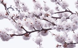Blossom cherrie stock photography