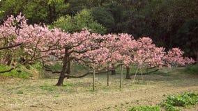 Blossom cherries Stock Image