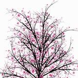 Blossom Cherry Royalty Free Stock Image