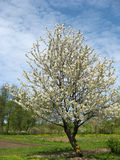 Blossom cherry. The blossom cherry-tree in the garden in sunny day Royalty Free Stock Images