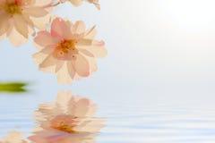 blossom cherry Στοκ Εικόνες