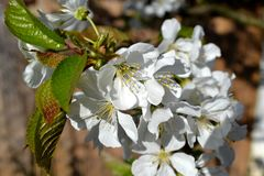 Blossom cherry branch. Beautiful spring blossom cherry branch royalty free stock photo