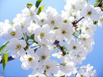 Blossom cherry branch, beautiful spring flowers for background Stock Images
