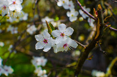 Blossom cherry branch stock image