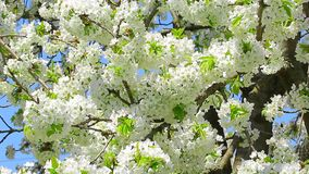 Blossom cherry branches swinging on wind with blue sky in the background.  stock video footage