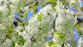 Blossom cherry branches swinging on wind with blue sky in the background.  stock footage