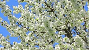 Blossom cherry branches swinging on wind with blue sky in the background.  stock video