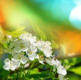 Blossom cherry Stock Photo