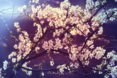 Blossom cherry Royalty Free Stock Images