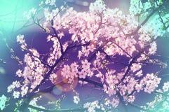 Blossom cherry Royalty Free Stock Photography