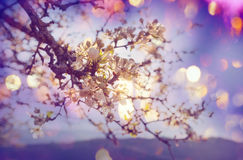 Blossom cherry Royalty Free Stock Photo