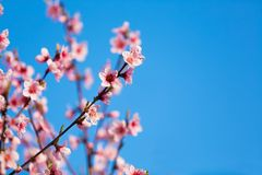 Blossom royalty free stock images