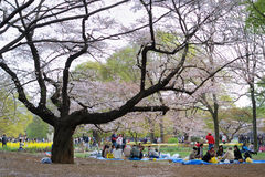 Blossom cherry season in Tokyo Stock Images