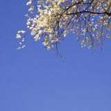 Blossom cherry sky Royalty Free Stock Image