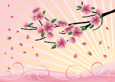 Blossom  cherry-tree. Royalty Free Stock Photo