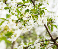 Blossom cherry tree Stock Image