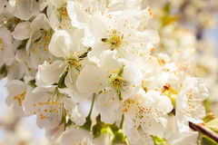 The blossom on the cherry tree. The background flowers on the cherry. Stock Photos