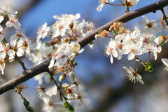 Blossom. Of cherry tree in big detail Royalty Free Stock Image
