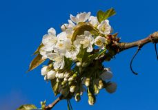 Blossom of cherry tree. Royalty Free Stock Images
