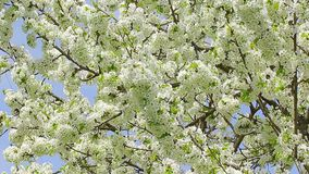 Blossom cherry tree branches swinging on wind with blue sky in the background.  stock video