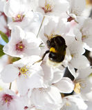 Blossom cherry tree flower with bee in it, de focus,tsakura blossom, macro photo, spring background, japanese tree Royalty Free Stock Images