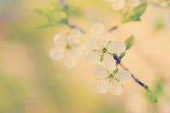 Blossom cherry tree Stock Photo