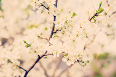 Blossom cherry tree stock images