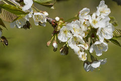 Blossom of cherry tree. Stock Image