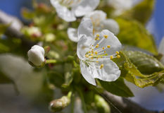 Blossom of cherry tree. Stock Photo