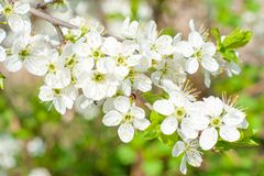 Blossom cherry tree Stock Photography