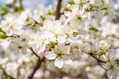 Blossom cherry tree Royalty Free Stock Images