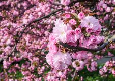 Blossom of cherry tree in springtime. Beautiful nature background with pink flowers on the branches stock images