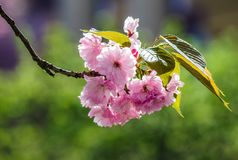 Blossom of cherry tree in springtime. Beautiful nature background with pink flowers on the branches Royalty Free Stock Images