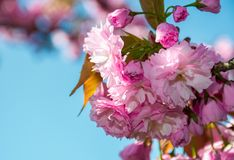 Blossom of cherry tree in springtime. Beautiful nature background with pink flowers on the branches Stock Photo