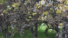 Blossom cherry tree in summer garden. Blooming branches of wild apple tree covered with moss in springtime. stock video